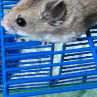 I got a Hamster!